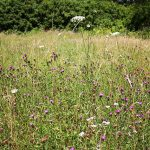 The wildflower meadow