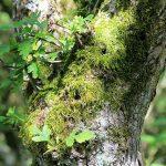 Spagnum moss
