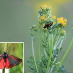 Caterpillars of the Cinnabar moth
