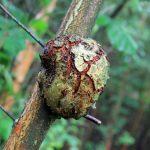A birch birl