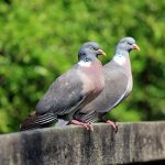Two Wood Pigeons