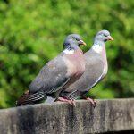 Two Wood Pigeons