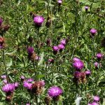 Knapweed flowers