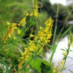 Flowers of Yellow Sweet Clover