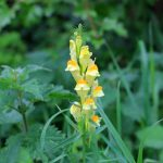 Wild flower - Common toadflax