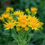 Flowers of Common Ragwort
