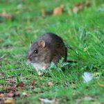 The brown rat